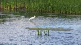 Белая цапля: Рыба есть! Ловить надо уметь!