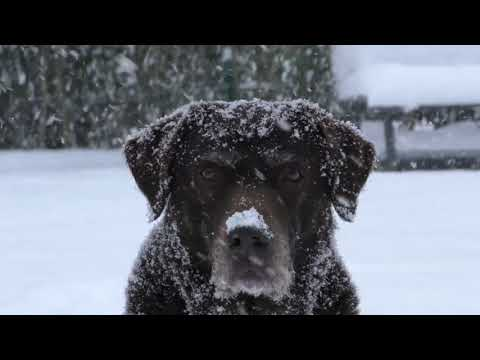 DOGS PLAYING IN SNOW || SNOW DOGS || WINTER DOGS || CUTE DOGS || PLAYING || DOGS  ENJOYING WINTER.