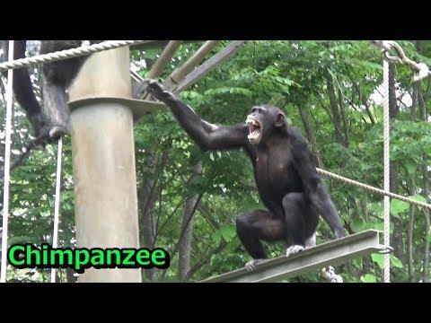 Tama chimpanzee family 200  チンパンジー一家の日常 【多摩動物公園】