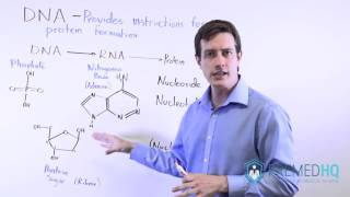 The Basics Of DNA DNA Structure Nulceosides Nucleotides And Nucleic Acids