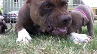 American Pitbull Terrier are not Aggressive