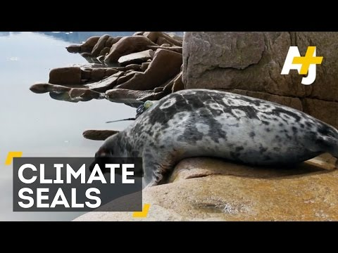 Seals Help Scientists Track Climate Change In Greenland