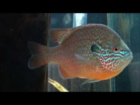Longear Sunfish In The Aquarium