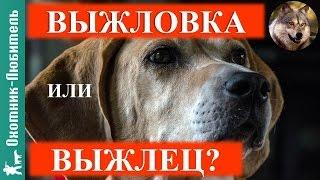 Выжлец или выжловка? Выбор собаки