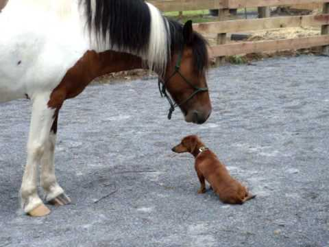 Pony and Dachshund play