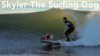 Skyler The Surfing Dog Surfs Santa Cruz Waves