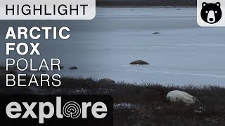 Arctic Fox Sighting - Cape Churchill Canada - Live Cam Highlight thumbnail