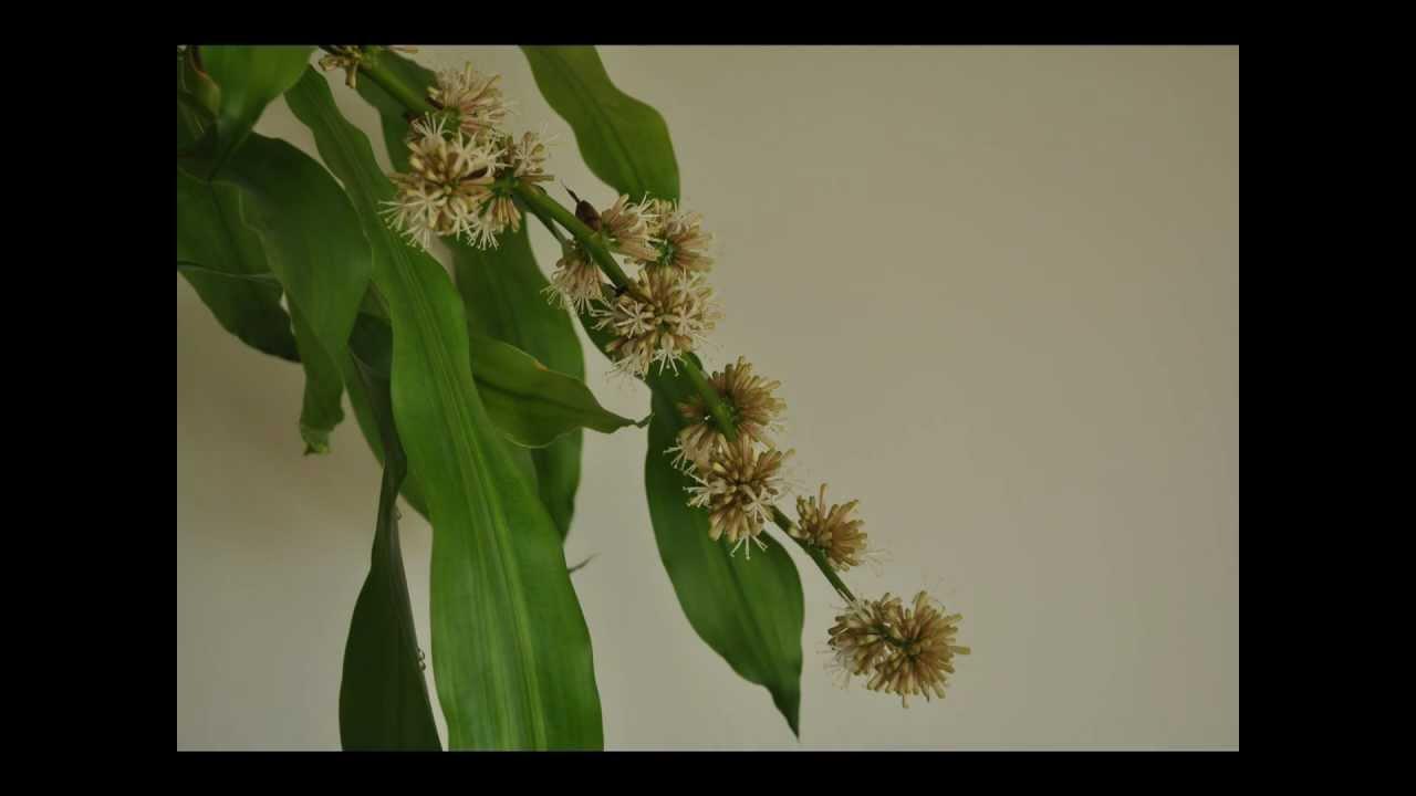 Dracaena Fragrans Flower