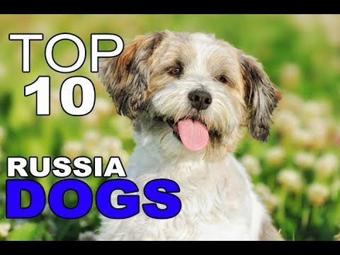 Top 10 Dog Breeds From Russia