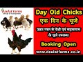 Kadaknath chicks | Visit www.daulatfarms.in | Daulat Farms Group of Companies