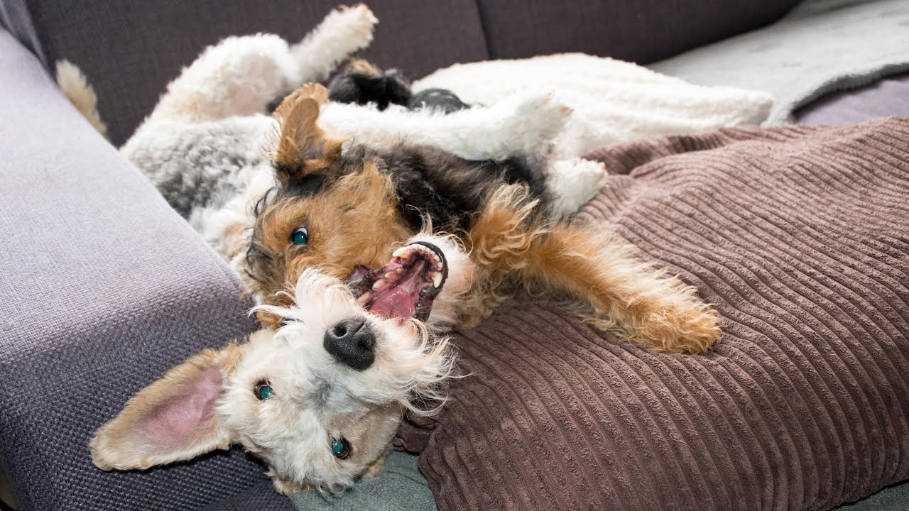sofa statistics voyager lay flat triple reclining bobby & maya - welsh terrier puppy wire fox ...