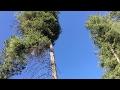 Harvesting Timber for Timber Framing — Mountain Dream Home #36