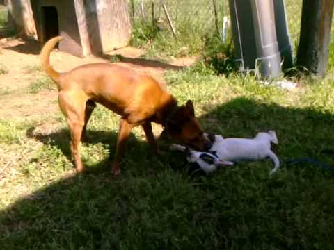 raising-the-perfect-pitbull:-puppies,-dog-fights,-rules-and-dominance:-aggression