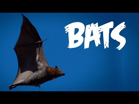 All About Bats for Kids: Animal Videos for Children - FreeSchool