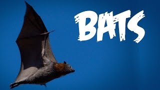 All About Bats For Kids: Animal Videos For Children   Freeschool