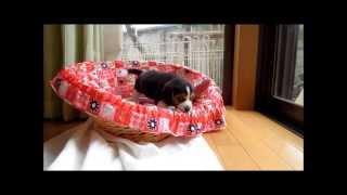生後50日のビーグルの子犬。