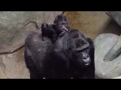 Baby Gorilla Nora with her Gorilla family at Brookfield Zoo Chicago March 2015