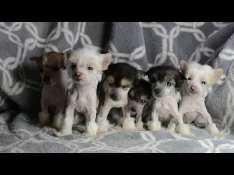 MythicKingdom Chinese Crested puppies after their  puppy pictures taken 5 5 weeks