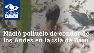 Nació polluelo de cóndor de los Andes en la isla de Barú