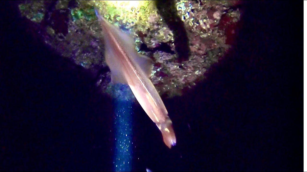 【貴重映像】真夜中の海に潜む高級〇〇をモリで貫く!