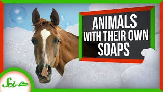 Dangerous Soaps: How Animals Use Surfactants