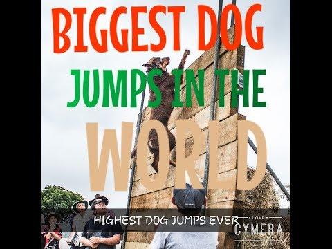 Best dog jumps | biggest dog jumps 2018 | highest dog jumps