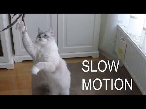 Hunting in Slow Motion - Luigi The Ragdoll Cat :)