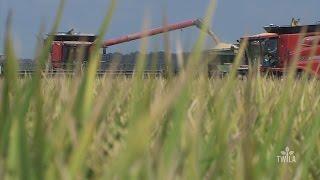 Rice Harvest is Underway