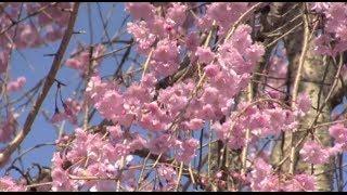旧俳優長谷川一夫邸跡の桜&嵯峨の小径 二尊院辺りの桜
