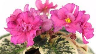 Фиалка с расписными листьями и фантазийным цветком - АВ-Экзотические Бабочки