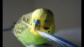 Muhabbet Kuşu Hakkında 15 İlginç Bilgi - HB