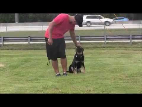 How to train your 4 month old German Shepherd puppy!