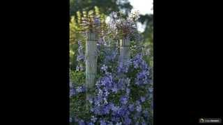 видео Клематисы в ландшафтном дизайне: вертикальное озеленение. Как вырастить клематисы способом вертикального озеленения