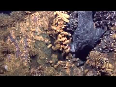 New Volcanic Sea Vents, Crawling With Creatures - YouTube
