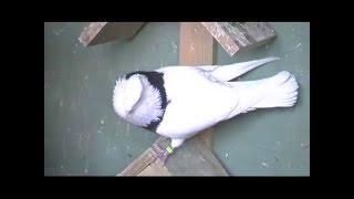 Persian Iranian Pigeons Tumblers Highfliers