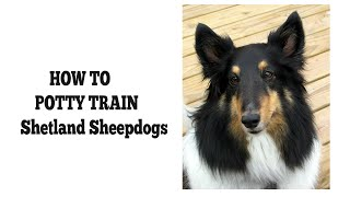 How To Quickly House Train Shetland Sheepdogs