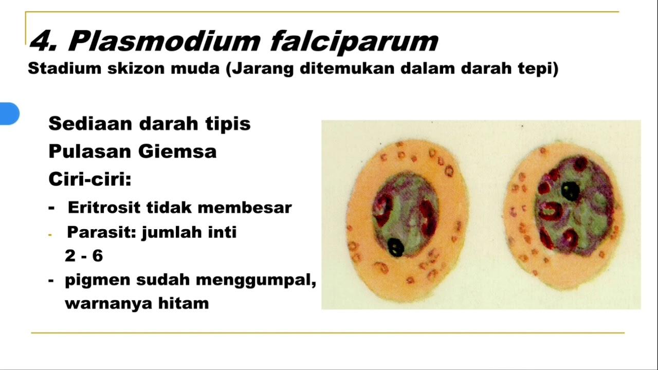 a malária plazmodium fejlődésének stádiumai az eritrocitákban férgek terhes nők tünetek kezelése