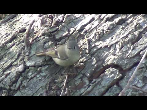 North American Wildlife --- Ruby-Crowned Kinglet (part 2-of-2) foraging