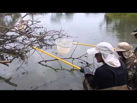 Electrofishing Lucas River Morrillo 24 may 2014 Lake Nicaragua