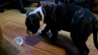 Кира- щенок  Американского Стаффордширского терьера .Амстафф. АСТ, AM STAFF.
