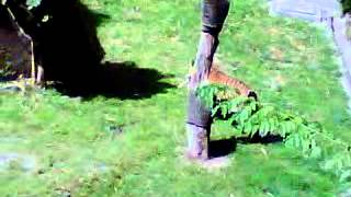 Gembira Loka Zoo, Harimau Sumatera Makan Ayam