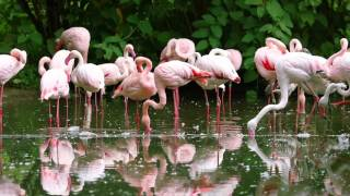 Flock of Pink Flamingos Preening its Feathers