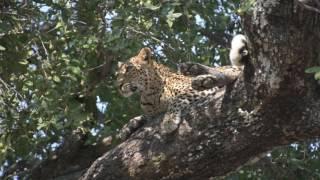vuclip Leopard - Chiphadzuwa