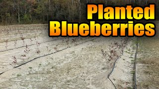 Planted Blueberries