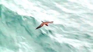 Seabird following a cruise ship