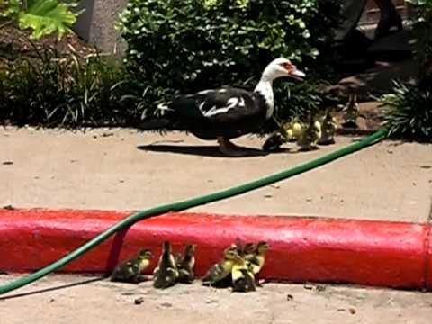 Ducklings Need Help