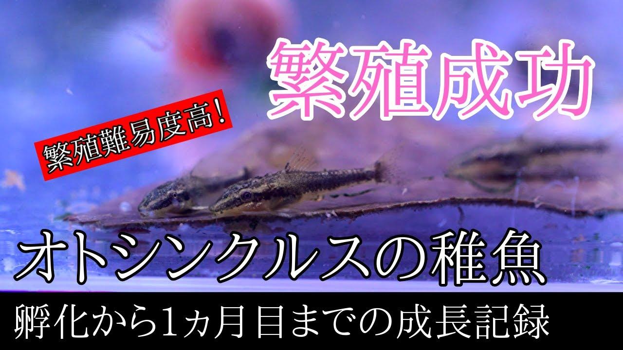 難易度が高い!オトシンクルス(並オト)の繁殖に成功!稚魚 孵化から1ヵ月日目までの成長記録