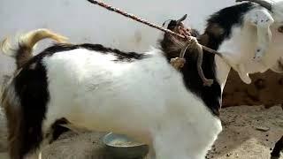 Baixar Dudu aakr shmprak kre bakra bkau hai 32000 hjar rupy hai jo bhi khridna chahta hai dudu aakr shmprak