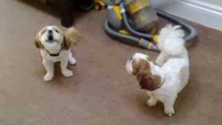 Howling Shih Tzu's. Millie and Barney, best buddies who like to yel...