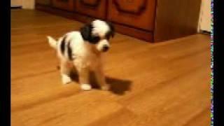 Пуховый щенок китайской хохлатой собаки